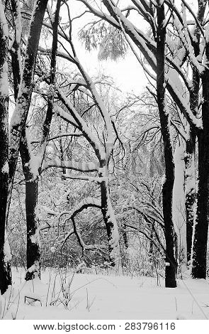 Trees In The Snow In The Forest In Winter Black And White