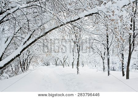 Trees In Snow In Winter In A City Park