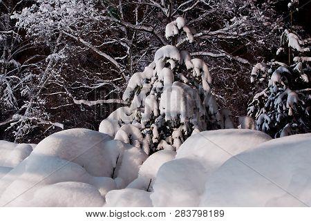 Fir Tree Under The Snow Among The Snow Drifts