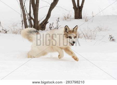 Red Marble Fox (vulpes Vulpes) Bounds Right Through Snow Winter - Captive Animal
