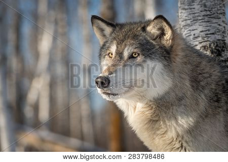 Grey Wolf (canis Lupus) Looks Out Side Eye Winter - Captive Animal