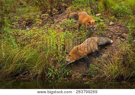 Red Foxes (vulpes Vulpes) Look Into Water Autumn - Captive Animals