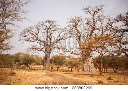 Two Big Baobabs On Sandy Land. Wild Life In Safari. Baobab And Bush Jungles In Senegal, Africa. Band