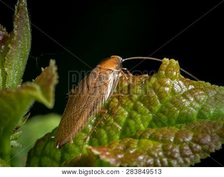 A Cockroach (ectobius Vittiventris) Sitting On A Green Leaf. This Is A Blattodea That Mainly Lives S