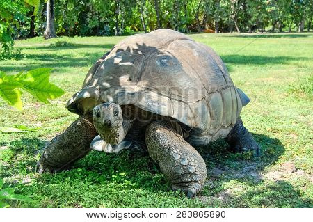 Giant Ivory Turtle On The Lawn. Giant Ivory Turtle On The Lawn.