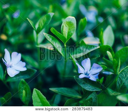 Wild Periwinkle Bloomed In Spring Green Grass