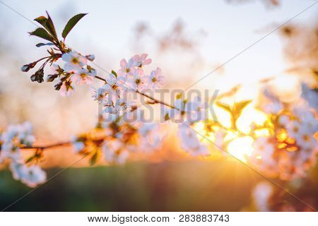 Picturesque ornamental garden with blooming lush trees in the idyllic sunny day. Concept of the ecology. Flowering orchard in spring time. Scenic image of trees in charming garden. Beauty of earth.