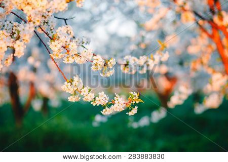 Spectacular ornamental garden with blooming lush trees in the idyllic sunny day. Concept of the ecology. Flowering orchard in spring time. Scenic image of trees in charming garden. Beauty of earth.