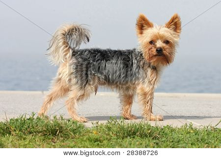 Skär liten hund i solen