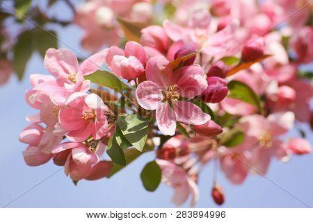 Closeup apple blossom flowers against a blue sky
