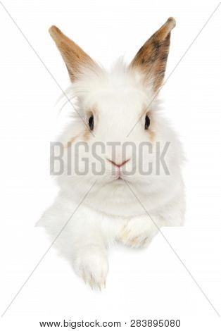 Portrait Of A Young Rabbit Above Banner, Isolated On White Background. Baby Animal Theme