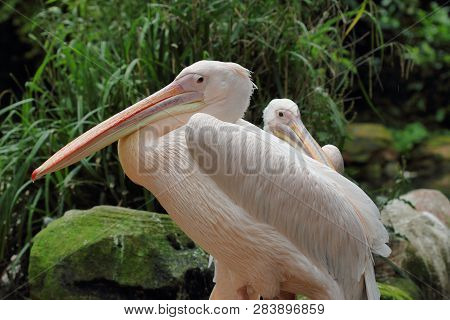 Portrait Of Rosy Pelicans (pelecanidae, Pelecanus) Pair. Photography Of Nature And Wildlife.