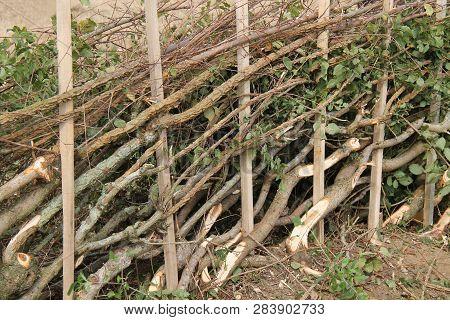 A Freshly Cut Length Of Hedge Laying Plashing.
