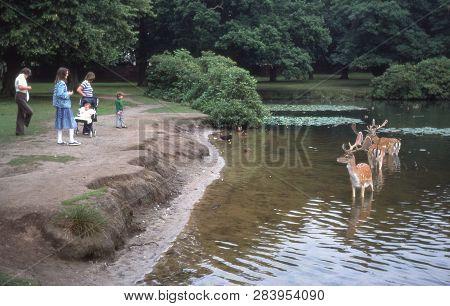 Cheshire, Uk - Circa, 1978: Vintage Photo Of Fallow Deer Standing In A Lake At Dunham Massey, Englan
