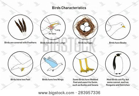 Bird Characteristics infographic diagram including feathers lungs lay eggs beaks, webbed feet wings and flying ability for biology science education