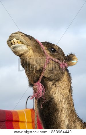 Camel Showing Its Teeth Near Marrakesh In Morocco