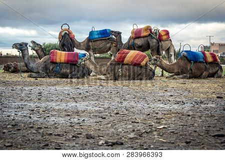 Group Of Camel Resting Near Marrakesh In Morocco