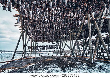 Drying flakes with stockfish cod fish in winter. Reine fishing village, Lofoten islands, Norway