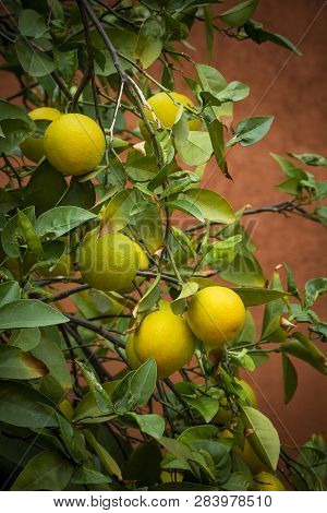 Lemon Tree Shot Against Red Background In Morocco
