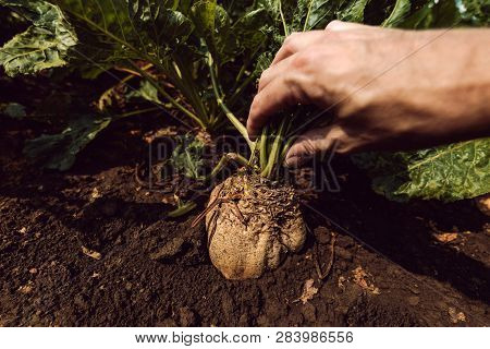 Farmer Extracting Organically Grown Sugar Beet Root Crop From The Ground