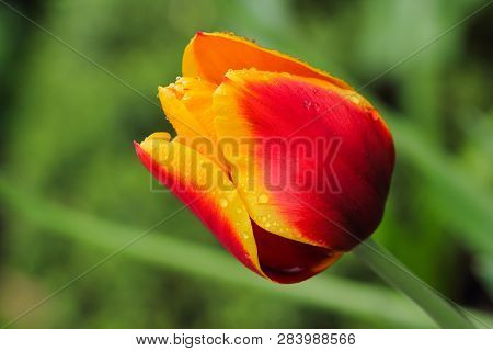 Close-up Of Red-yellow Tulip Flower In The Spring Garden. Macro Photography Of Nature.