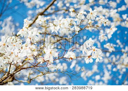 Lush idyllic magnolia flowers in sunlight against blue sky. Abstract seasonal background. Concept of the ecology. Scenic image of flowering orchard in spring time. Botanical garden. Beauty of earth.