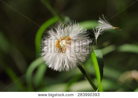 Close-up Of Ripe Fruits Common Dandelion (taraxacum Officinale) Flower On The Summer Meadow. Macro P