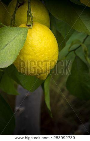 Ripe Lemon On Tree After Light Rainfall