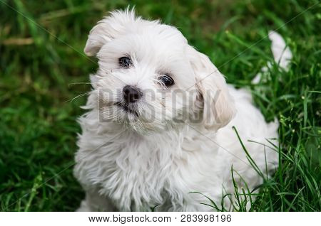 Cute White Doggie Looks Trustful Cute White Doggie Looks Trustful