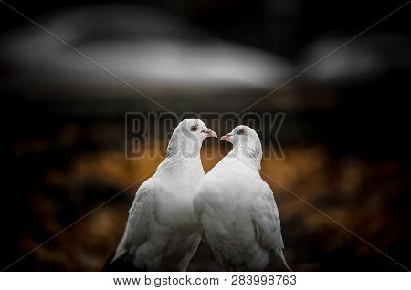 Two White Lovers Dove Cooed Together. Two White Lovers Dove Cooed Together.