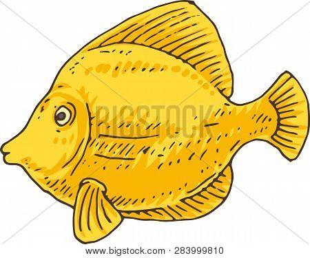 Yellow Tang. Aquarium Saltwater Zebrasoma Fish. Isolated On White