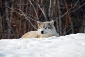 Picture of a Gray Wolfe sleeping in the snow poster