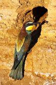 european bee-eater (Merops Apiaster) nature photo poster