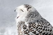 Close-up picture of a male Snowy Owl poster
