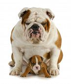 father and son - english bulldog father and four week old son sitting on white background poster