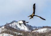 The Flying Predatory Stellers Sea-eagle near Rausu in Shiretoko, Hokkaido of Japan. poster