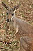 The Western Grey Kangaroo is one of the largest kangaroos. It weighs 28-54 kg and its length is 0.84-1.1m with a 80-100 cm tail standing approximately 1.3m tall. poster