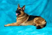 A young german shepherd dog in studio against blue backdrop laying down facing left. poster