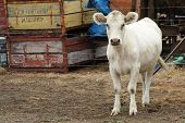 white cow with stern expression in dirt paddock with rusty crates in background poster