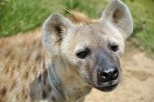 The spotted hyena also known as laughing hyena is a carnivorous mammal. poster
