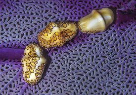 Flamingo Tongue,snail,cyphoma Gibbosum, S A Species Of Small But Brightly Colored Sea Snail, A Marin