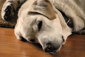 A White Labrador Dog Snoozes Indoors On A Polished Wooden Floor. Taken In Upton-by-chester, England,