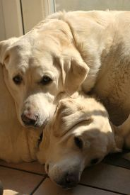 Two White Labrador Dogs Snooze Indoors On A Tiled Kitchen Floor. Taken In Upton-by-chester, England,