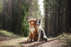 Two Dogs Hugging. Pet For A Walk In The Woods. Toller, Nova Scotia Duck Tolling Retriever And Border