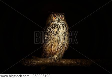 Eurasian Eagle-owl (bubo Bubo), One Of The Largest Species Of Owl