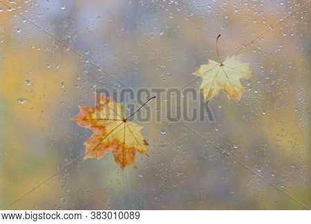 Yellow Maple Leaves On Wet Window Glass With Rain Drops. Autumn Rainy Day And October Weather In Fal