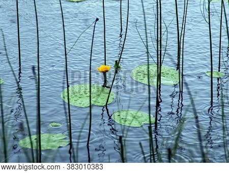 Rainy Day. A Yellow Water Lily Looks Out Of The Water. Raindrops Are Visible On The Water And On The