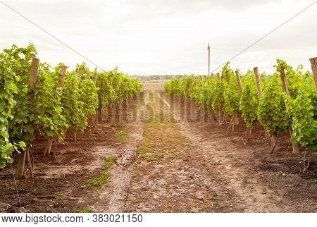 Wine Farm And Vineyard In Rural Landscape, Moldova. Shrubs Grapes Before Harvest. Leaves, Tendrils,