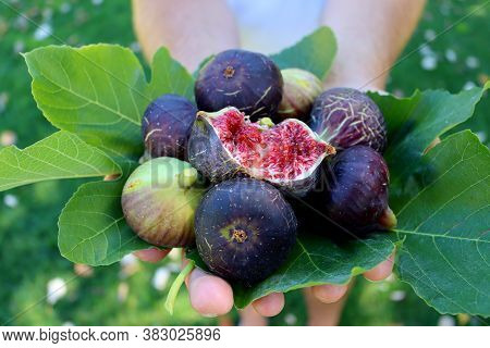 A Man Holding Figs, Close-up. Ripe Figs And Green Fig Leaves In Male Hands.