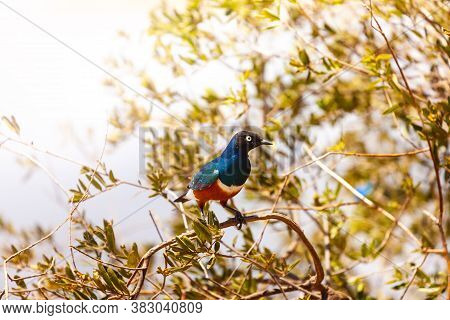 Superb Starling Bird Or Lamprotornis Superbus Sit On A Bench Perched On Branch, Lake Naivasha, Kenya